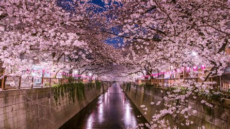 When and where to see cherry blossoms in Tokyo in 2020