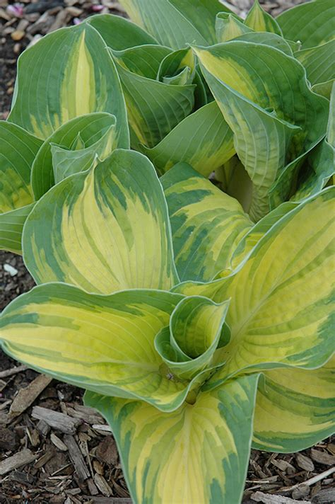 Great Expectations Hosta (Hosta 'Great Expectations') in