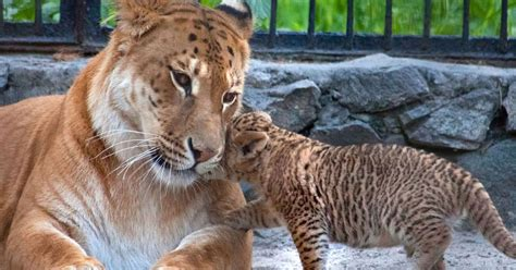 Rare liliger cubs become mane attraction at a Russian zoo