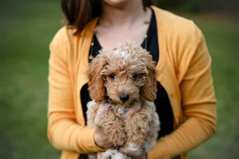12 Absolutely Adorable Dog Breeds with Curly Hair | The