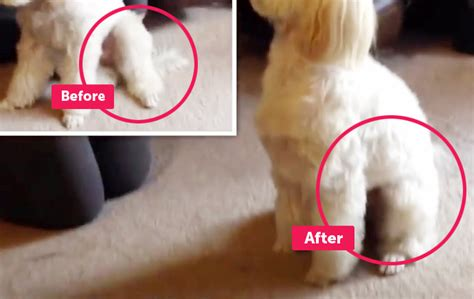 The Reason Why The Dog Doesn't Sit Straight And One Way To